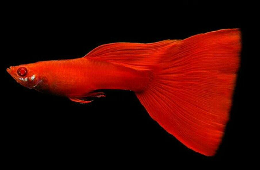 Guppy Albino Super Red Mit Bildern Guppy Fisch Guppy