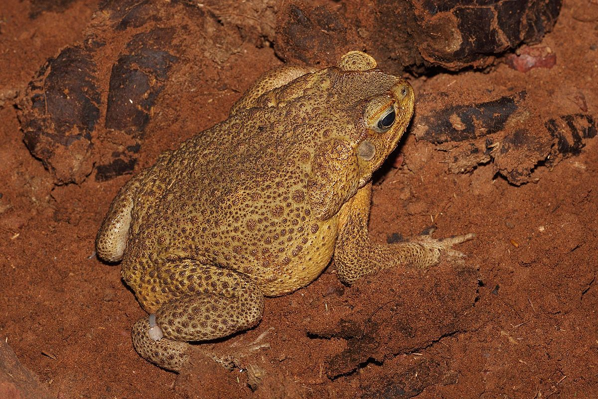Cane toad Wikipedia Toad, Marine toad, Frog and toad