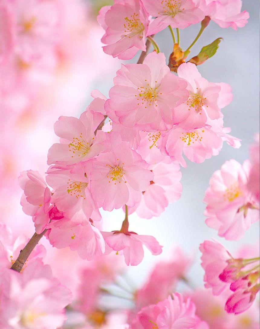 Branch Brook Park Cherry Blossom Festival 2020 Splurgefrugal Com Cherry Blossom Wallpaper Cherry Blossom Flowers Blossom Trees