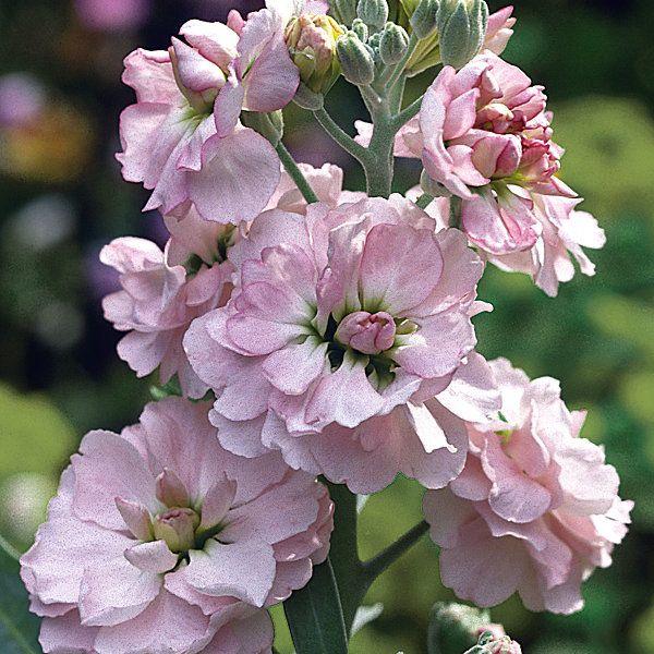 Blumensamen Ausgewahlte Levkojen Manufactum Blumensamen Blumen Pflanzen