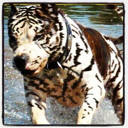 Zebra Pitbull Google Search Dogs Beautiful Dogs Pitbull Dog