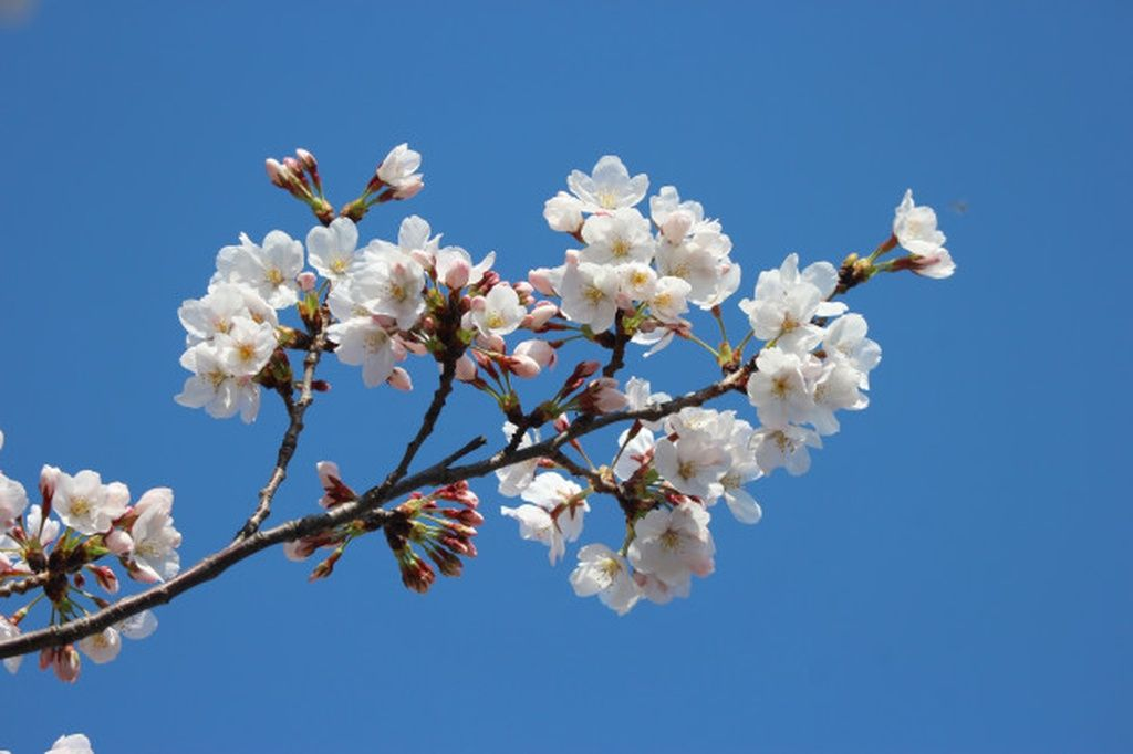 Japanese White Cherry Blossoms Sakura Flowers Branch On Blue Sky Background Paid Ad Paid Blossoms White Cherry Blossom Blue Sky Background Blossom
