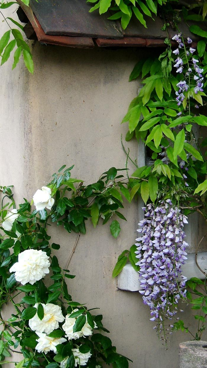 rambling rector rose, wisteria White climbing roses