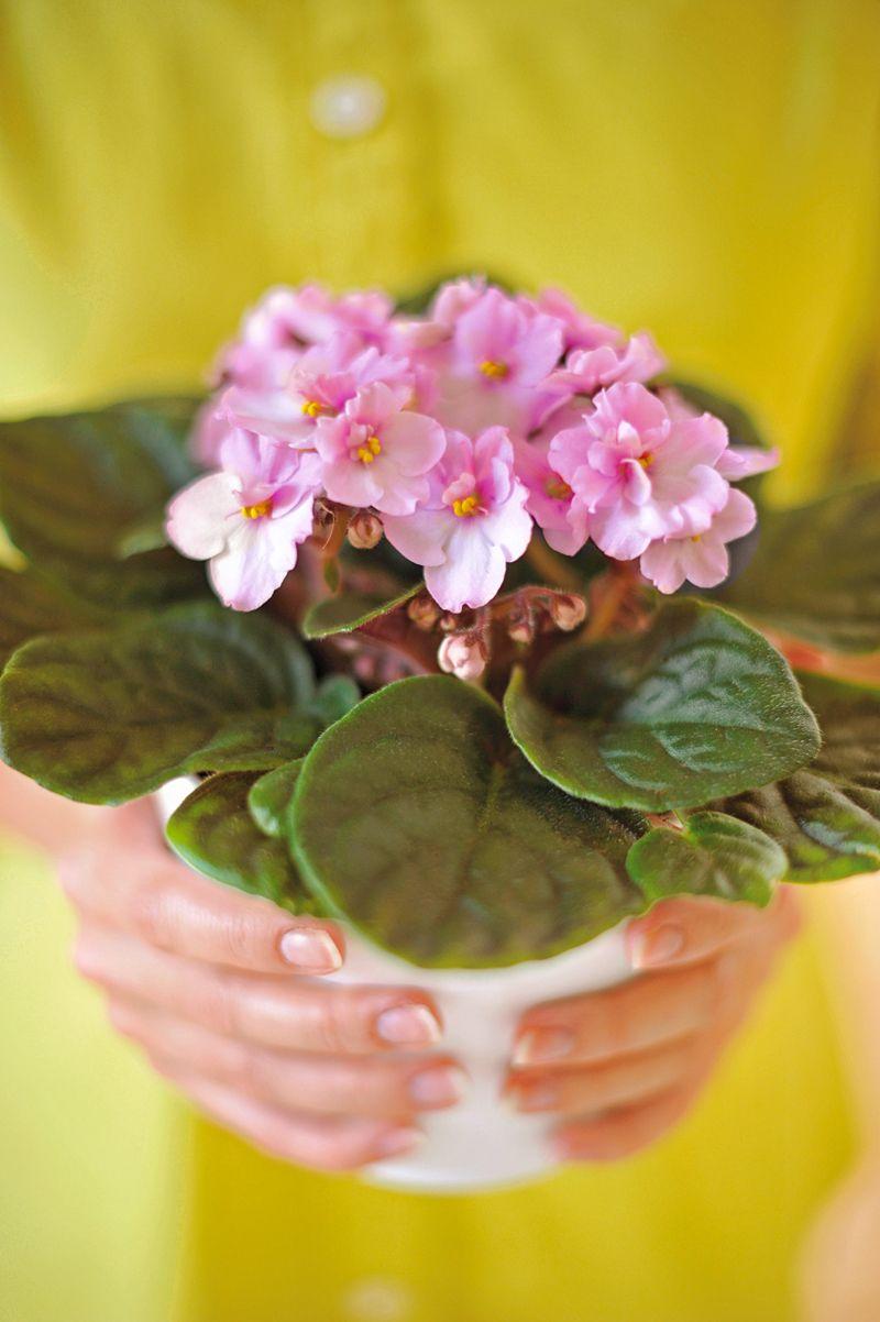 Petites Plantes Fleuries En Pot saintpaulia : plante Ø12cm petit modèle pot | violette