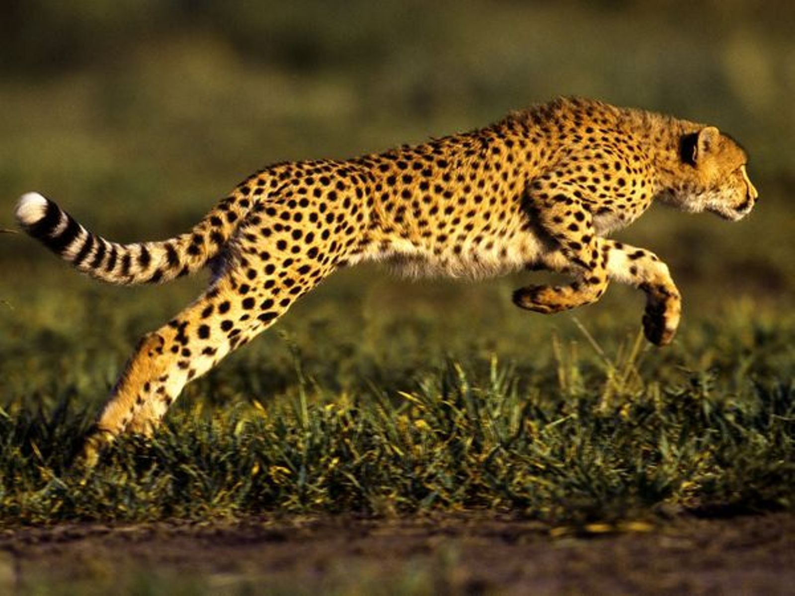 Jaguar Hd Wallpapers Running The Cool Art Cheetah Pictures