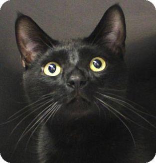 Westampton Nj Domestic Shorthair Meet Sai 34195730 A Cat For Adoption Http Www Adoptapet Com Pet 17248192 Westampton Cat Adoption Kitten Adoption Pets