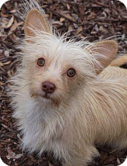 Yorkie Yorkshire Terrier Westie West