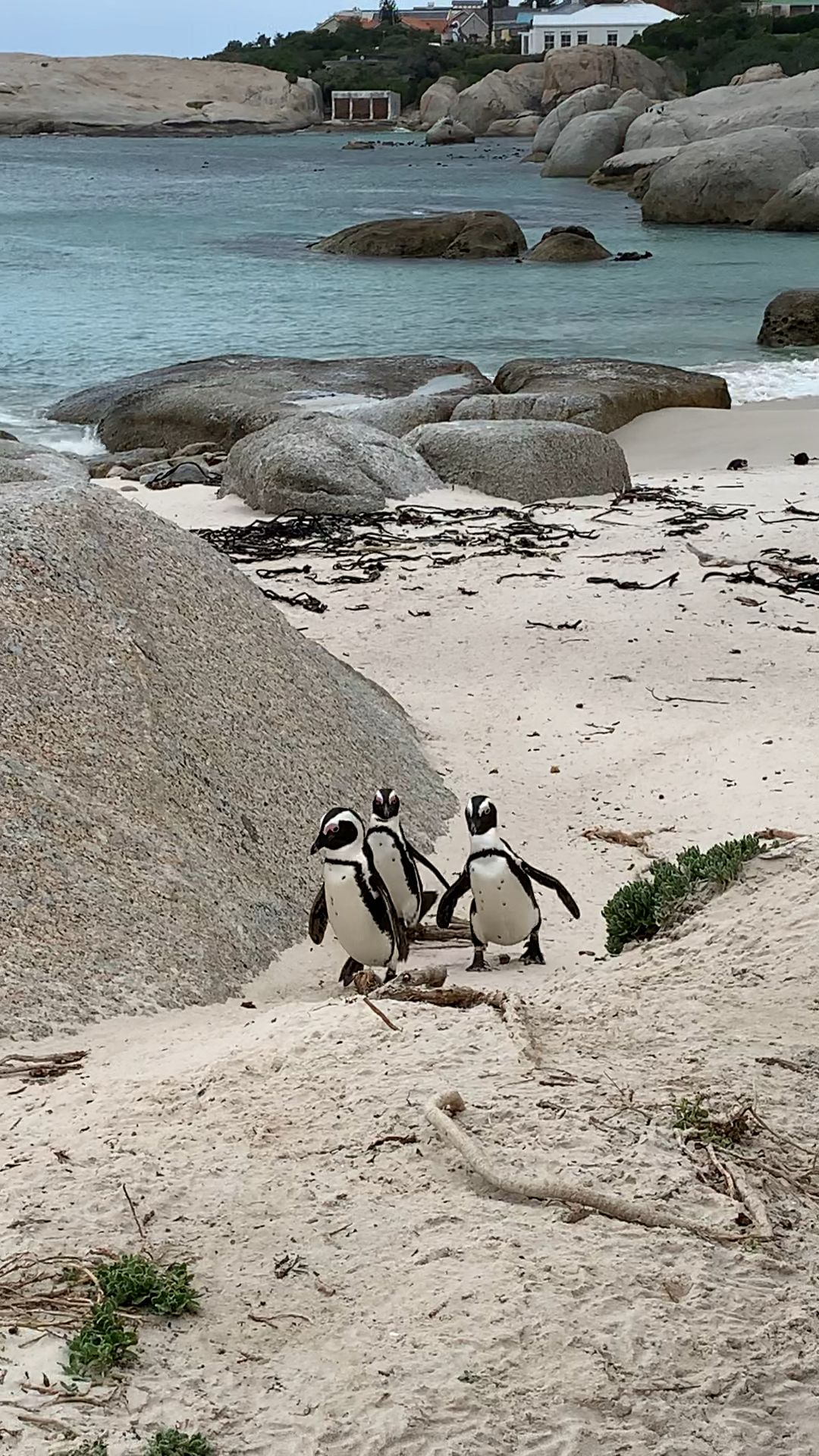 Penguins at Boulder Beach South Africa