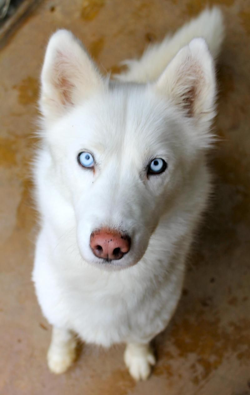 Meet Sadie A Petfinder Adoptable Siberian Husky Dog Memphis Tn For More Information About Our Hours Siberian Husky White Siberian Husky Siberian Husky Dog