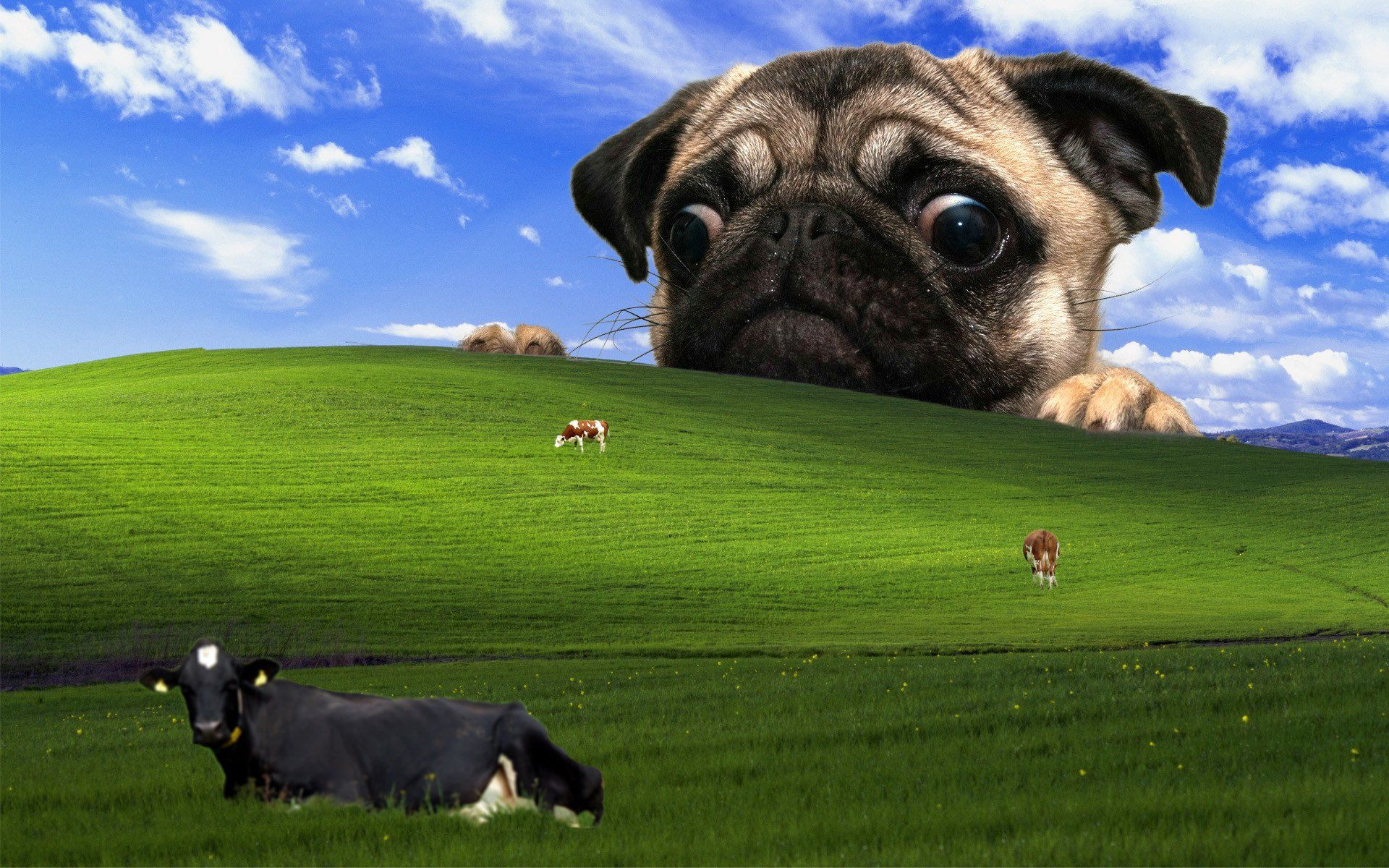 8 Superior Versions Of The Windows Xp Wallpaper Bliss Pug