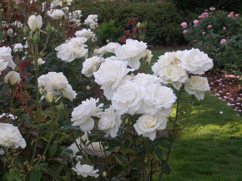 White Garden Rose Bush love a white rose garden | landscaping & gardening | pinterest