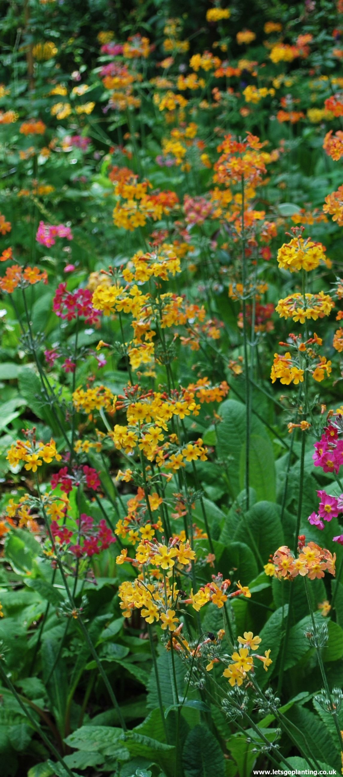 Primula Bulleyana Commonly Known As Bulleys Primrose Is A Compact