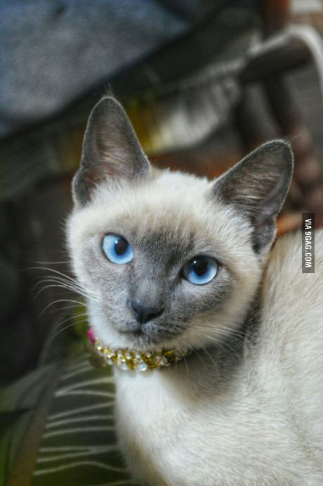 My 3 Month Old Siamese That Came To My Life In One Of My Thoughest Moments And Saved Me I Truly Love Her Siamese Cats Blue Point Siamese Cats Tonkinese Cat