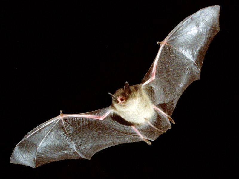 Bats Generally Are Living In Attics Building Walls Or Between The Ceiling And Roof Of Residential Commercial Properties