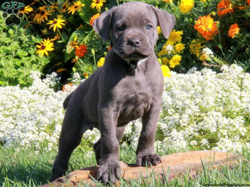 Beauty, Cane Corso Puppy for sale in Ronks, Pa Cane