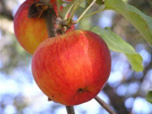 Heirloom Fruit Trees For Home Farm Trees Of Antiquity Rooted Organic Fruit Trees Apple Tree Apple