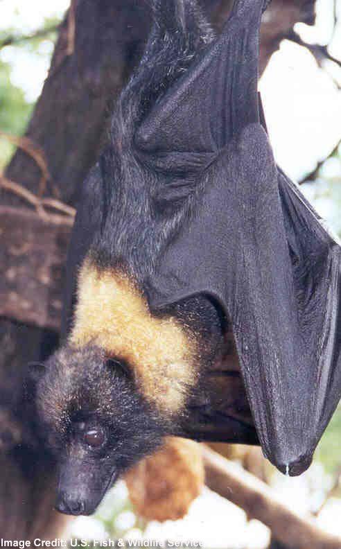 Mariana Fruit BatCredit: U.S. Fish & Wildlife ServiceThe Mariana fruit Bat (a.k.a. Mariana flying fox) is currently designated as threatened. Range: Guam, Northern Mariana Islands.