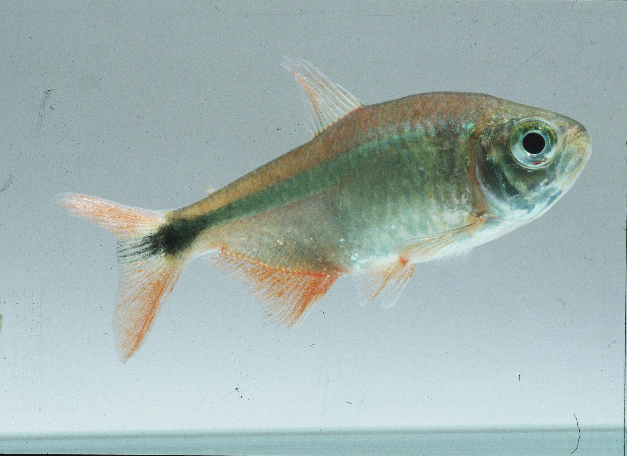 Learn More About The Care And Breeding Of The Buenos Aires Tetra A Long Time Favorite In Home Aquariums Tetra Tetra Fish Home Aquarium