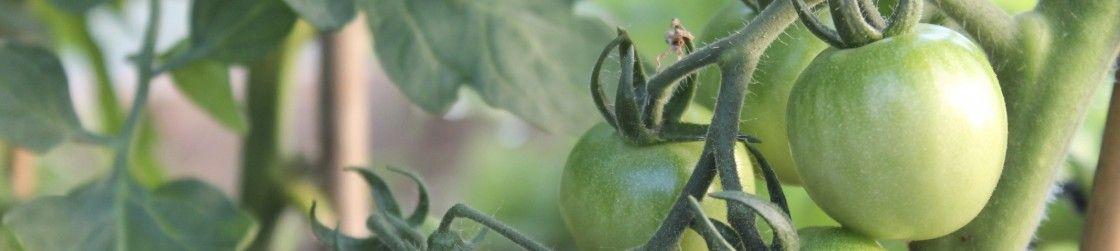 Unripe, green tomatoes