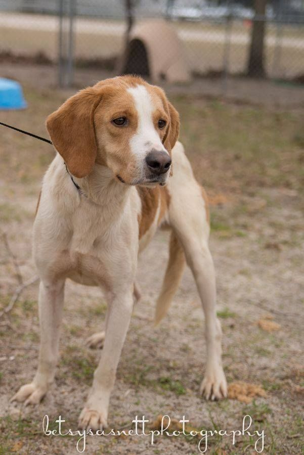 Tahoe Is A 2 Year Old Unaltered Male White And Tan Hound Mix And