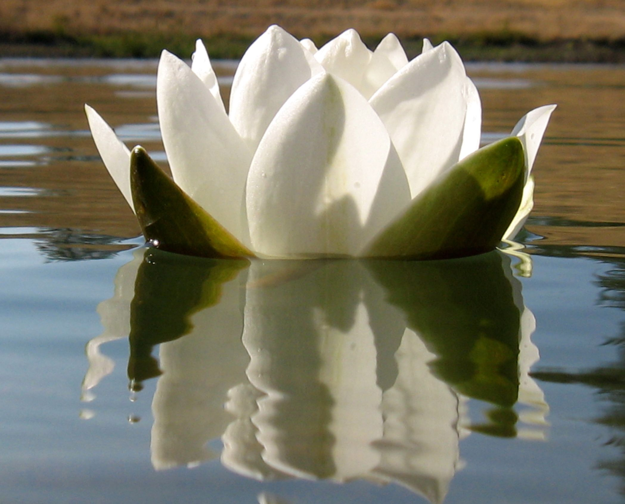 A Natural Lotus Flower Sitting Peacefully In Lake Kaleshwar