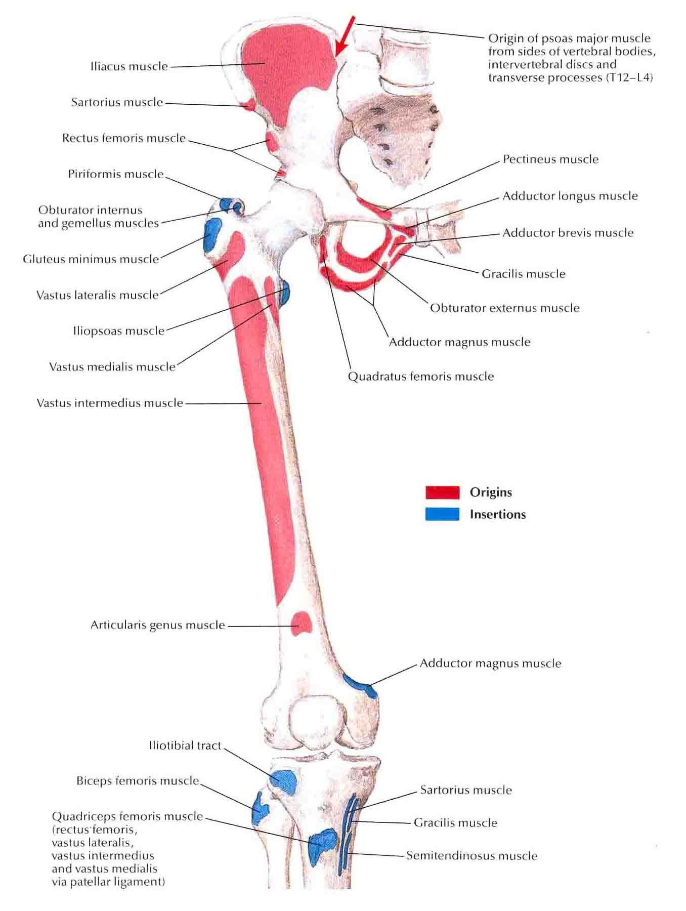 Gracilis Anatomy Amp Health T Anatoma Anatoma Humana