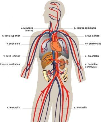 Free Diagrams Human Body Veins Medical Diagram Clip Art Download