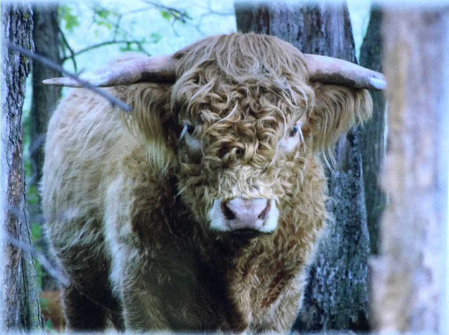 A personal favorite from my Etsy shop https://www.etsy.com/listing/474064954/duncan-the-highland-bull-and-his-family