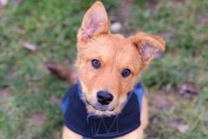 Adopt Chewy On Golden Retriever Mix Puppies Adoption