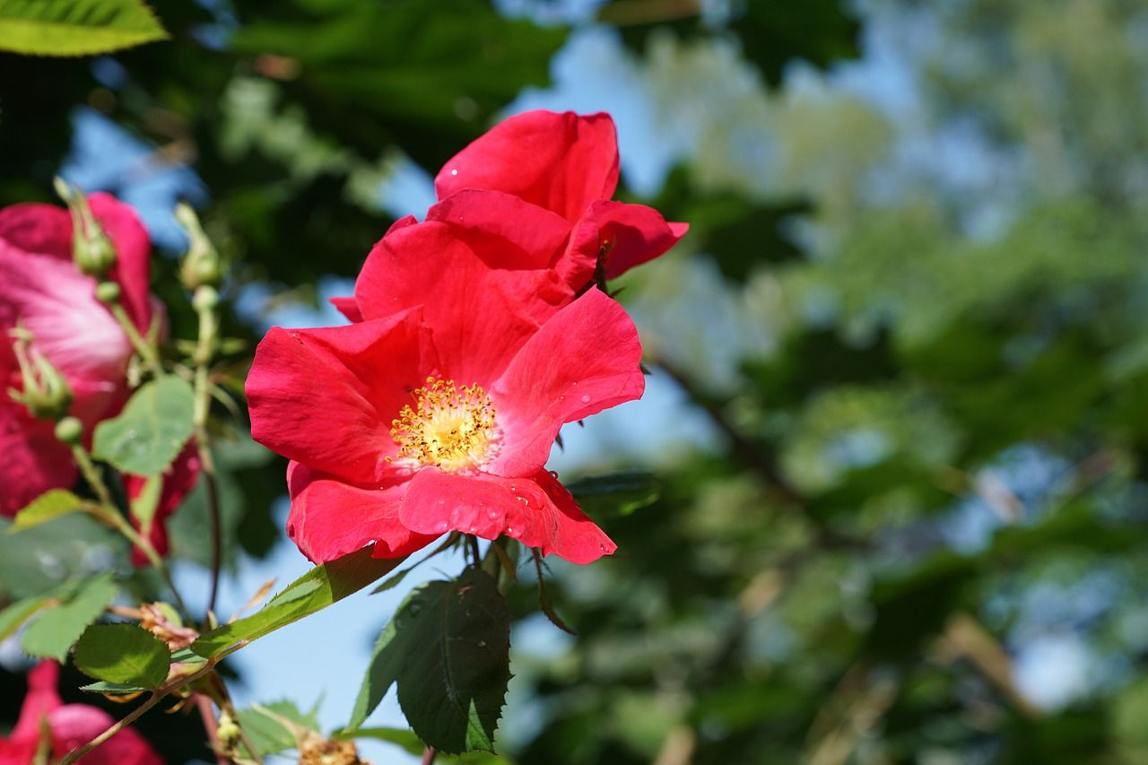 Germany, Rose, Flower, Nature, Plant, Tee germany, rose