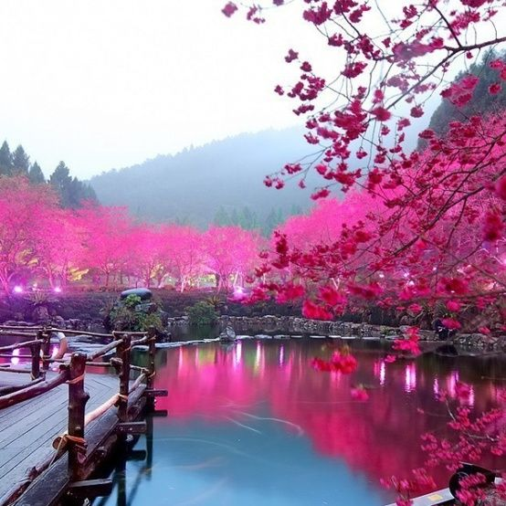 Cherry Blossom Lake In Japan #cherries, #gardens, #Japan, #blossom, #flowers, #lakes, #nature, #pinsville