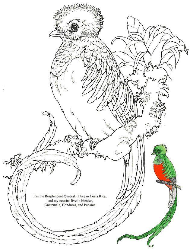 Resplendent Quetzal Jungle Bird Coloring Page Courtesy Of Jan Brett A Children S Book Illustrator Her Page Has A Grabados De Aves Pintura En Tela Dibujos