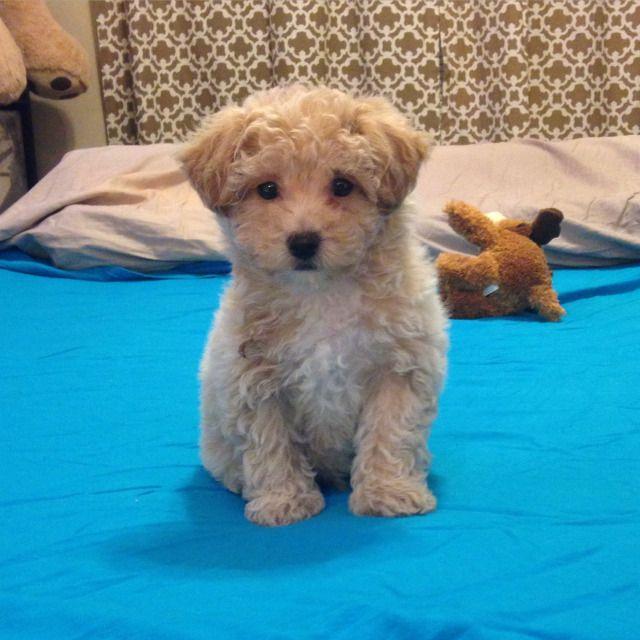 Meet Rufio Poochon Puppies Cute Animals Puppies