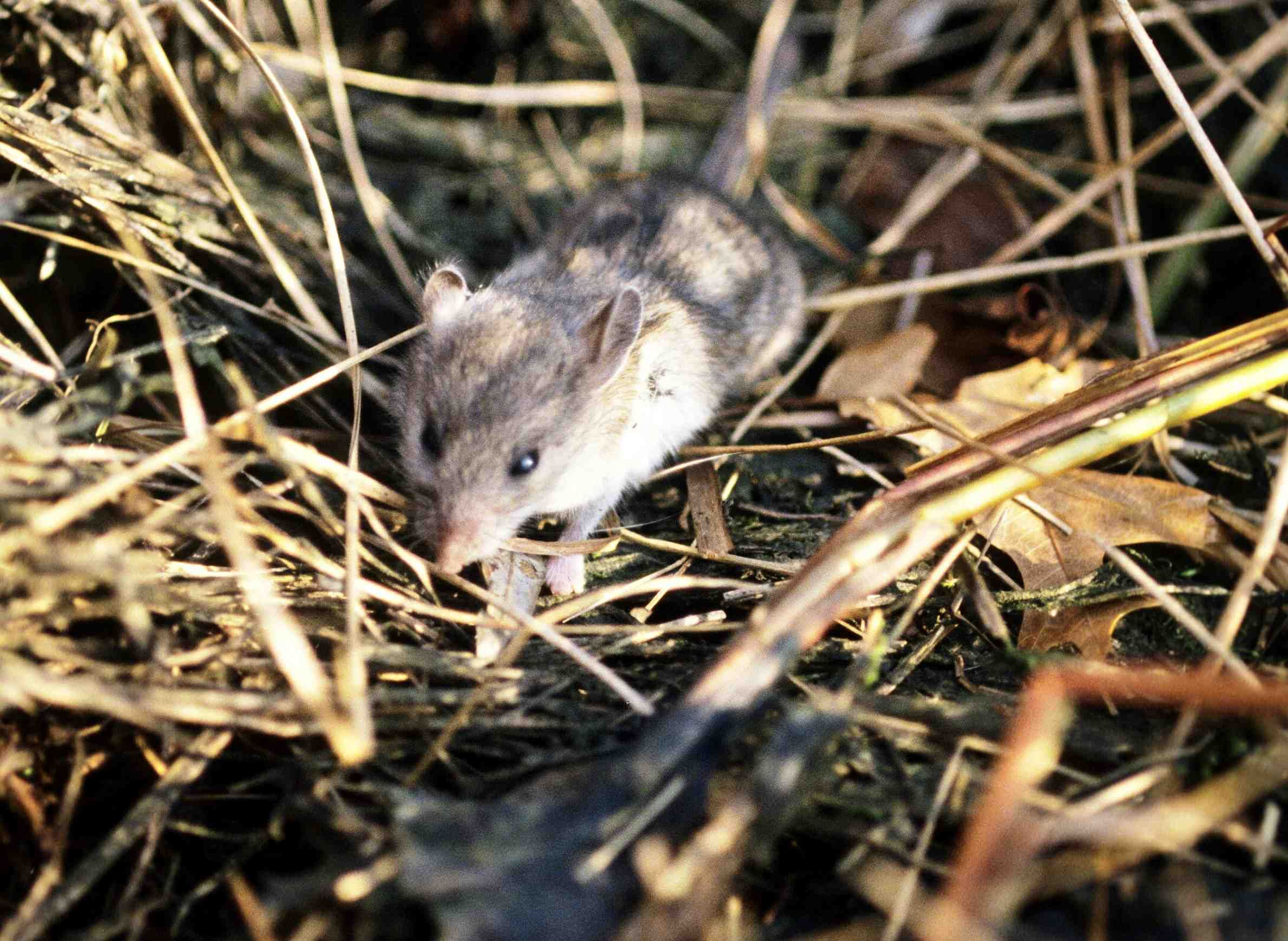 Small Mammals And Birds Are Important Accomplices In Spreading Lyme Disease  | Mammals, Deer ticks, Lyme disease