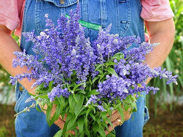 Sirius Blue Sage Drought Tolerant Plants Drought Tolerant Landscape Australian Garden