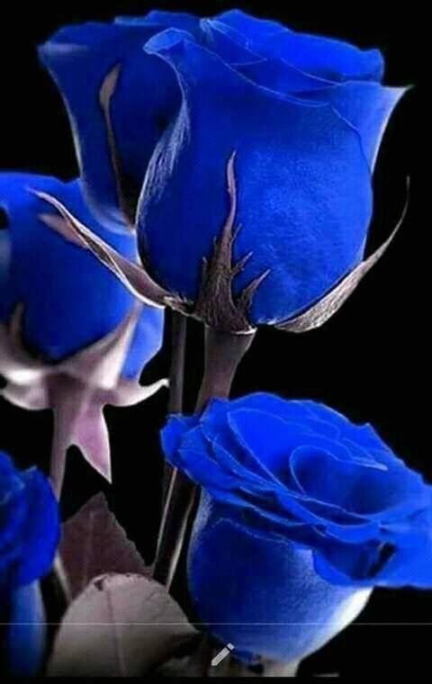 Blaue Rosen Blueflowerwallpaper Blaue Rosen Blueflowerwallpaper Blaue Rosen Blueflowerwallpaper Blaue Blue Roses Wallpaper Blue Flower Wallpaper Blue Roses