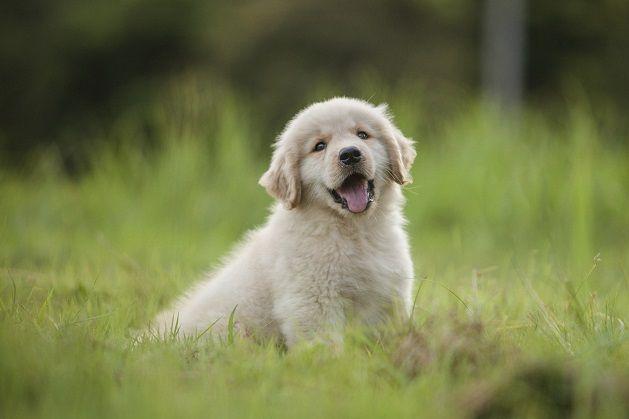 Baby Golden Retriever Puppy In Grass At Home Karen S Animals