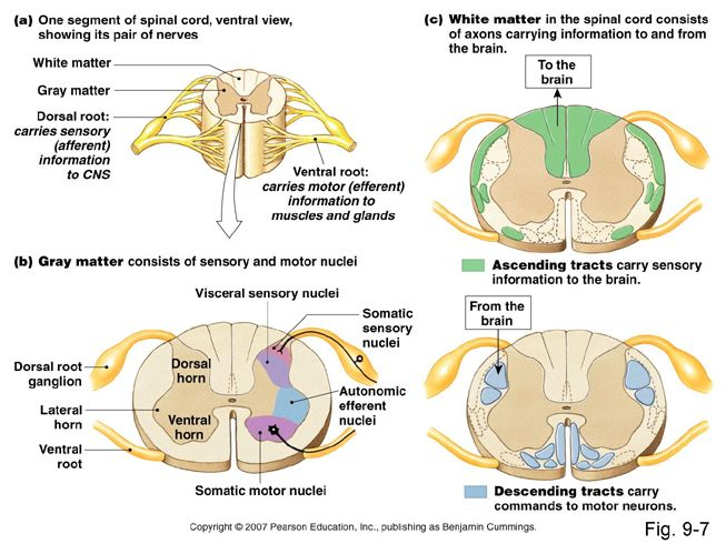 spinal cord - Google Search | Neuroanatomy | Pinterest | Spinal cord ...