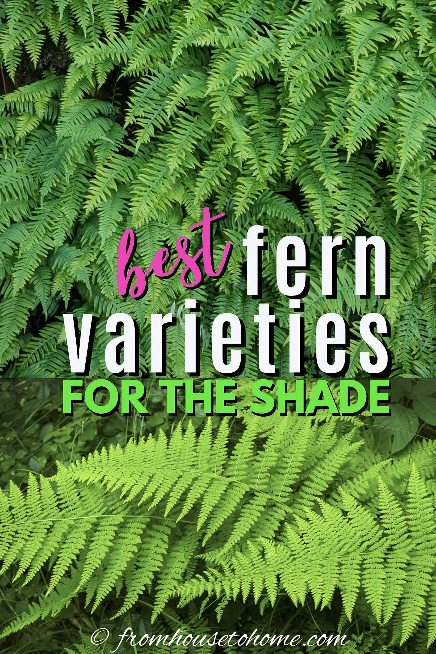 20 Winter Hardy Fern Varieties In 2020 Evergreen Ferns Shade Garden Plants Japanese Painted Fern