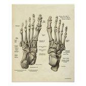 Photo of Vintage Anatomy Print Bones of Foot | Zazzle.com  Vintage Anatomy Print Bones of…