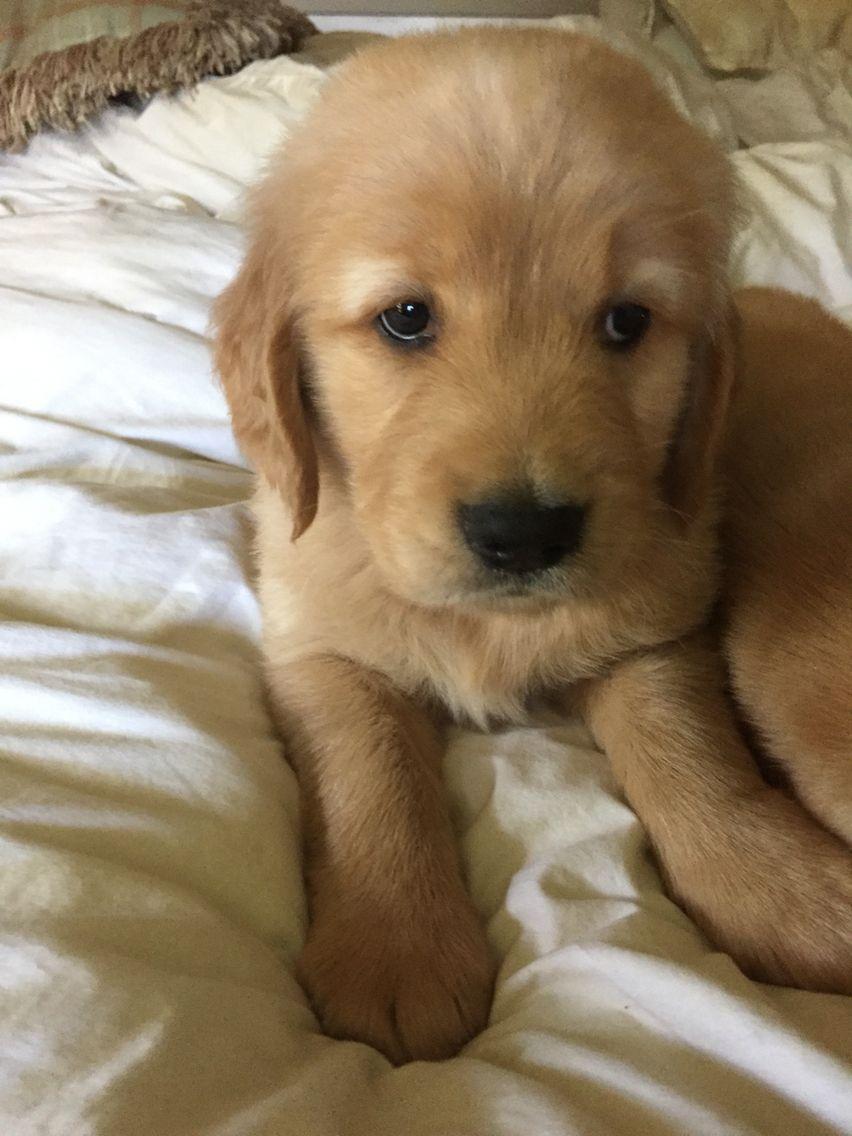 Golden Retriever Puppies Middlebury Vt