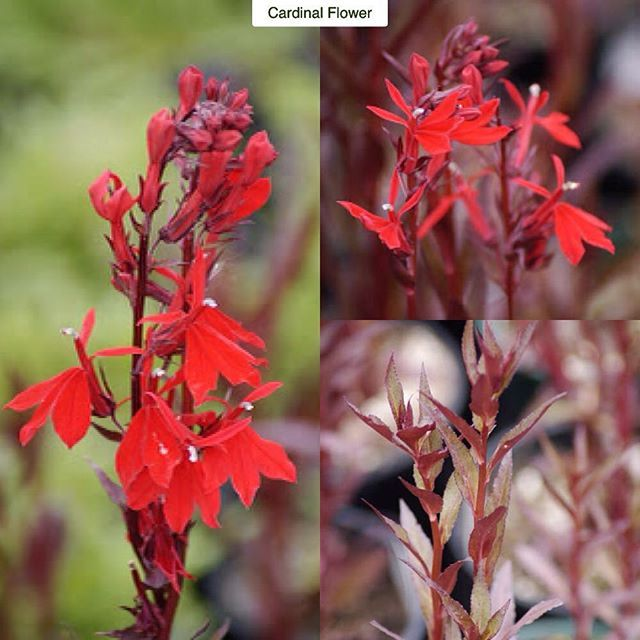 """Cardinal Flower Lobelia hybrida """"Queen Victoria"""" Type: Perennial Exposure: Sun / Part Shade Water: Regular to Moist  This would be the definition of a showstopper. A bog plant in its natural habitat the cardinal flower produces a clump of upright stalks that will reach 4-5ft (1.2-1.5m) tall by 1-2ft (30-60cm) wide. The stalks are covered with leaves that emerge green-(ish) then mature to a striking reddish-maroon color. In late summer flower stalks are tipped with a brilliant red bloom…"""