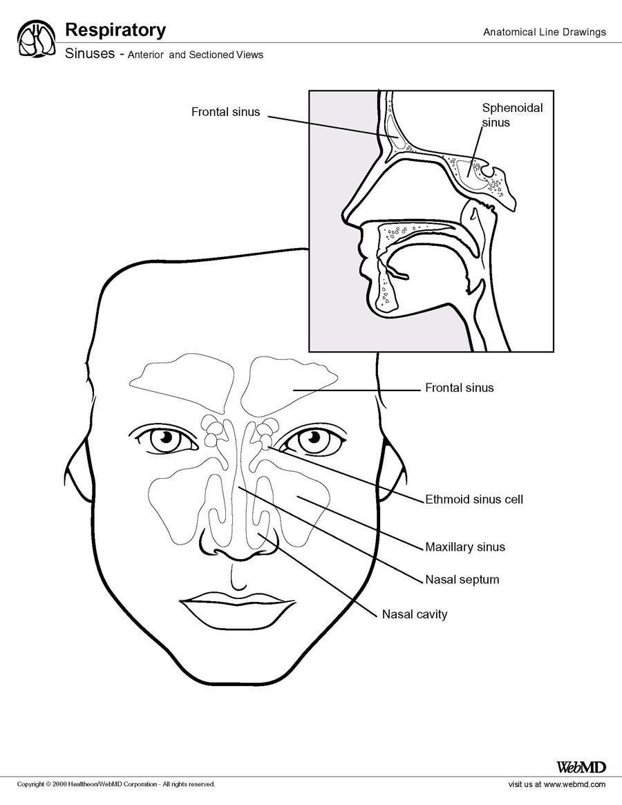 Paranasal Sinus Anatomy: Overview, Gross Anatomy, Microscopic ...