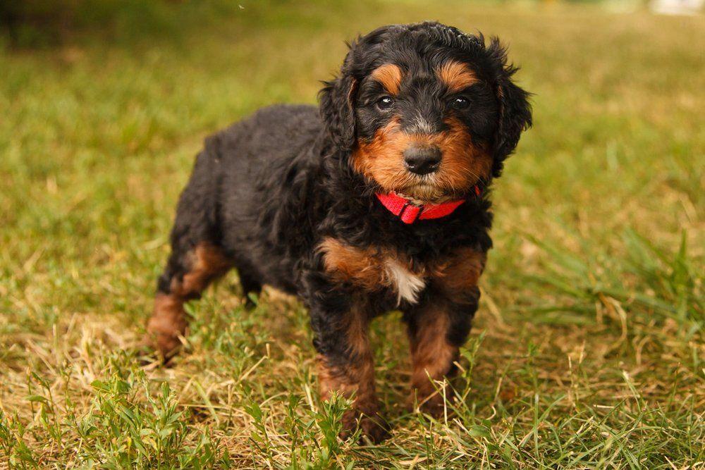 Beautiful bernedoodle pups for sale bernedoodle