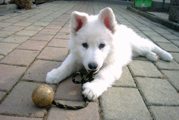 Weißes Schweizer Schäferhundwelpen... Hunde Pinterest