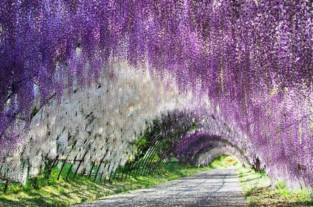 Sady Kavachi Fudzi Yaponiya Wisteria Tunnel Climbing Plants Wisteria