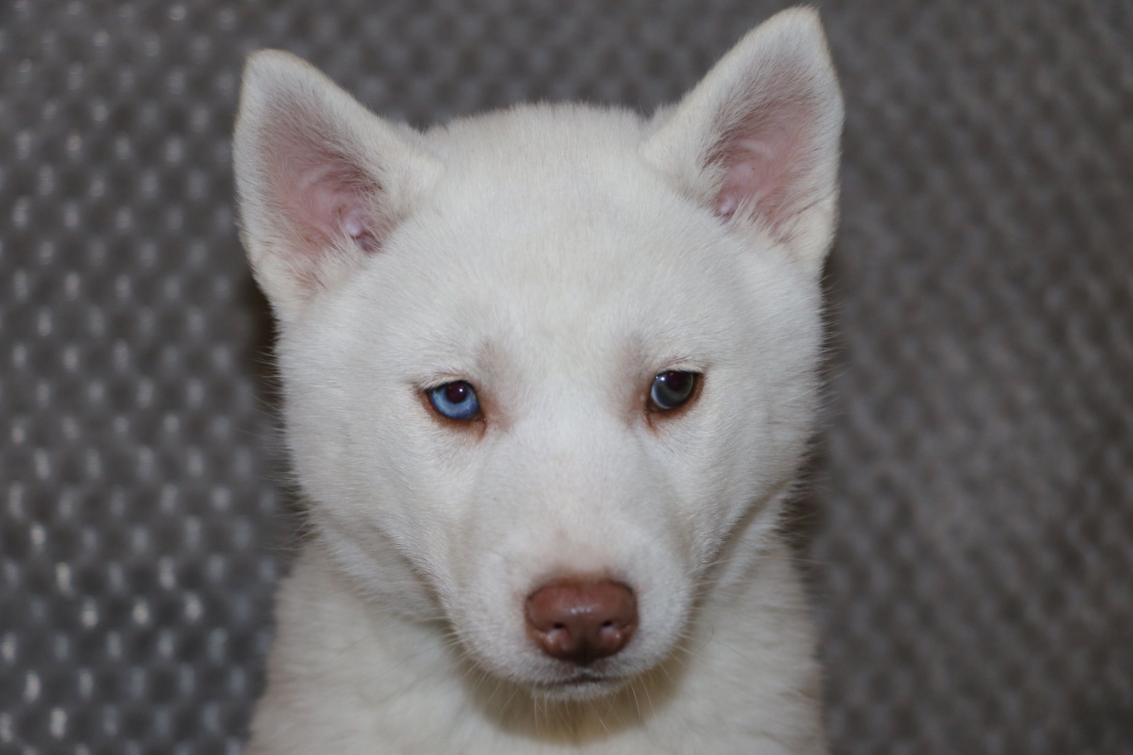 Bonnie A Female Akc Siberian Husky Pupper In Bremen Indiana