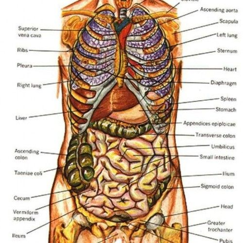 Female Human Body Organs Diagram  Anatomy Body Human Body