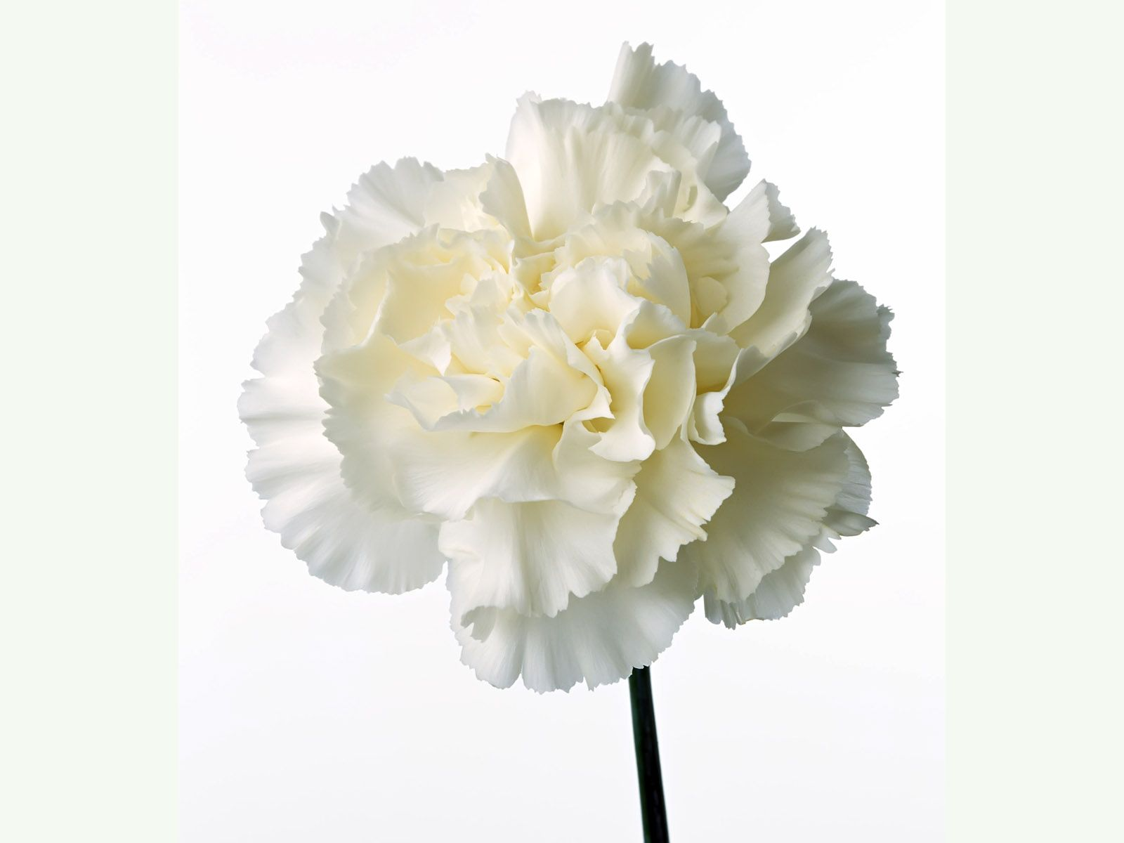 Image Gallery white carnations