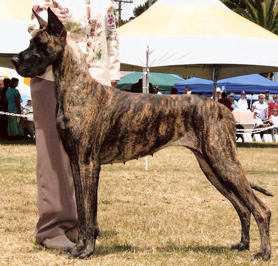 Brindle Cropped Great Dane With Images Brindle Great Dane